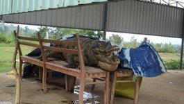 Phát hiện xác cá sấu quý hiếm trên mặt hồ